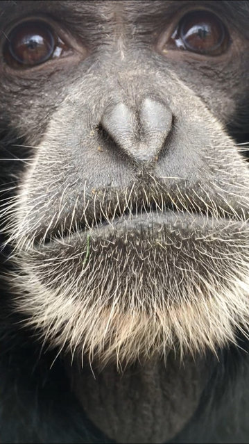 Winner, People's Choice category: Wearing her heart on her nose, by Jo Thrower at Noah's Ark Zoo Farm. Species: Siamang gibbon. (Photo by Jo Thrower/BIAZA 2020 Photography Competition)