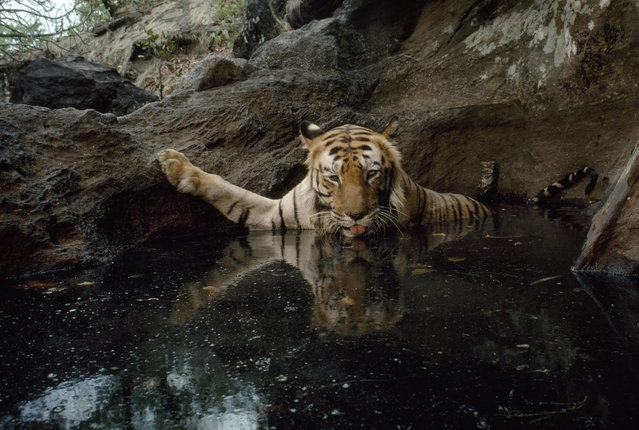 India, 1995. By setting off a camera trap, a female tiger captures her own image in Bandhavgarh National Park. (Photo by Michael Nichols