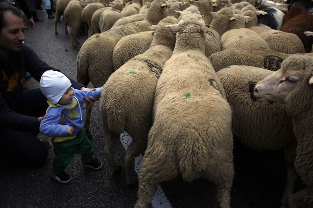 A child touches the sheep during the annual sheep parade through Madrid November 2, 2014. (Photo by Susana Vera/Reuters)