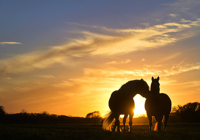 A pair of horses stand together in a pasture near Illinois Route 8 east of Elmwood, Ill. as the sun sets on Tuesday, October 28, 2014. (Photo by Ron Johnson/AP Photo/Peoria Journal Star)