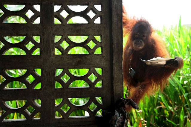 A chained orangutan who is kept as a pet, holds a plate of food at the owner's home in the village of Korek, in Kubu Raya, Indonesia West Kalimantan province, October 7, 2015 in this picture taken by Antara Foto. (Photo by Jessica Helena Wuysang/Reuters/Antara Foto)