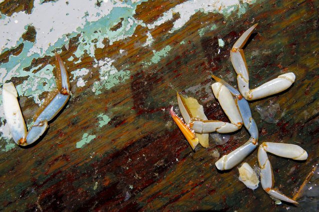 Parts of crabs and jellyfish lie on a wooden sorting table as professional watermen Jeff Robinson and Danny Richardson fish for crabs on the Choptank River near Cambridge, Maryland August 28, 2015. Their fishing licenses allowed them to catch up to 13 bushels of crabs that day, the daily limit can vary during the season. (Photo by Jonathan Ernst/Reuters)