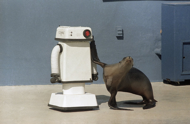 A robot, controlled by senior trainer Guenter Skammel, puts Gigi, a 3-yr. old sea lion, through a series of responses to the movements of the robot on October 16, 1984. (Photo by Richard Drew/AP Photo)
