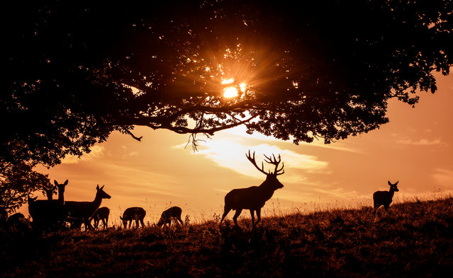 A stag shelters near a tree as the Autumn sun rises over Studley Royal Deer Park in North Yorkshire, England on October 7, 2020. (Photo by Danny Lawson/PA Images via Getty Images)