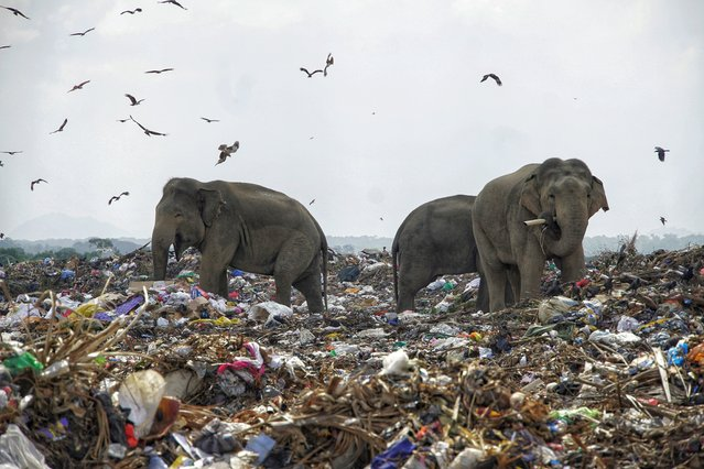 Elephants forage for food at a rubbish dump encroaching on their jungle habitat in Oluvil, Sri Lanka in September 2020. Examination of dead elephants has revealed undigested polythene and other plastic waste. (Photo by Tharmaplan Tilaxan/Cover Images)