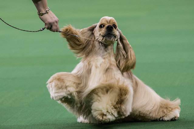 An Ascotb Cocker Spaniel competes in the Westminster Dog Show on February 11, 2014 in New York City. (Photo by Andrew Burton/Getty Images)