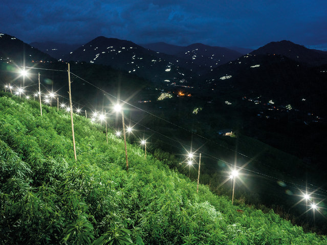 Cannabis, seen here, and coca leaves (for cocaine production) are grown openly and extensively in these mountains only a few hours from the city of Cali. To help stimulate cannabis production artificial lighting is used during the night for the first two months of cultivation. In the background of this image light bulbs can be seen across the landscape, revealing the vast extent of cannabis production in the area. (Photo by Mads Nissen/Politiken/The Guardian/Panos Pictures)