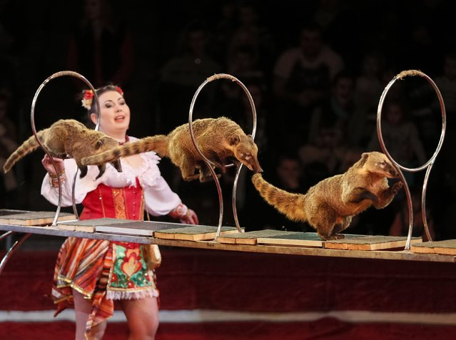 """Coatis jump through rings during """"Circus of our childhood"""", a new programme, at the National Circus in the Ukrainian capital of Kiev January 22, 2015. (Photo by Gleb Garanich/Reuters)"""