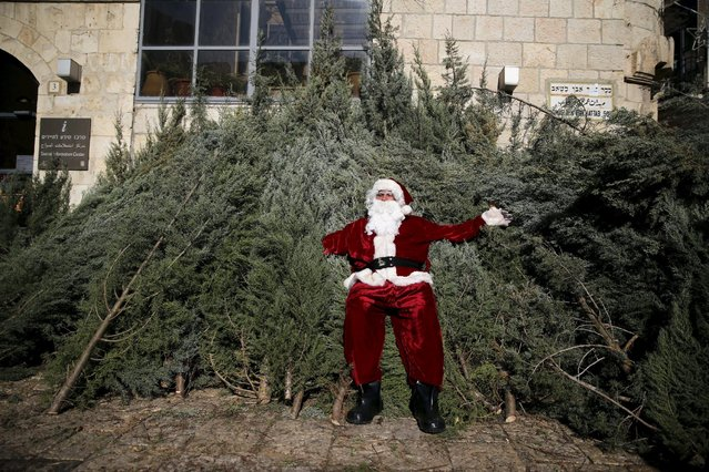 Israeli-Arab Issa Kassissieh wears a Santa Claus costume as he rests on top of Christmas trees which he distributes on behalf of the Jerusalem municipality in Jerusalem's Old City December 21, 2015. (Photo by Ammar Awad/Reuters)