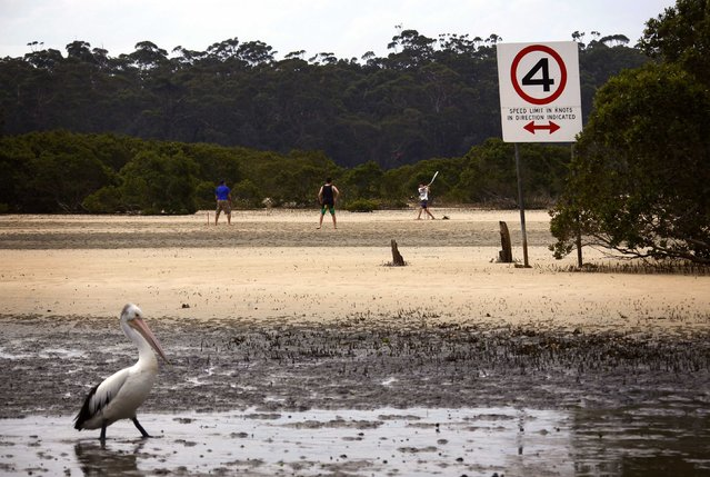 A pelican walks near boys as they play cricket with their father on mudflats at low tide on a lagoon located near the town of Mollymook on the South Coast of New South Wales November 5, 2014. With strong hosts expected to challenge, a highly-fancied South Africa facing their demons and a sprawling format certain to generate criticism, the cricket World Cup's return to Australia and New Zealand is a case of deja vu in many ways. (Photo by David Gray/Reuters)