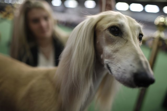 Snapple, a Saluki from Ohio, waits next to the ring before competing in the Hound Group at the 139th Westminster Kennel Club's Dog Show in the Manhattan borough of New York February 16, 2015. (Photo by Mike Segar/Reuters)
