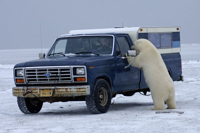 """""""You're not going that way? Why not? I need to get there"""". (Photo by Steven Kazlowski/Barcroft Media)"""