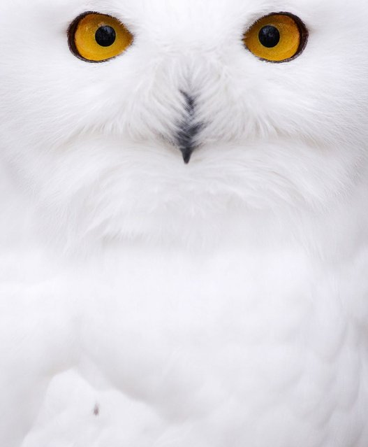 A snowy Owl sits in an enclosure at the Zoo in Hof, Germany, on November 5, 2013. (Photo by David Ebener/AFP Photo)