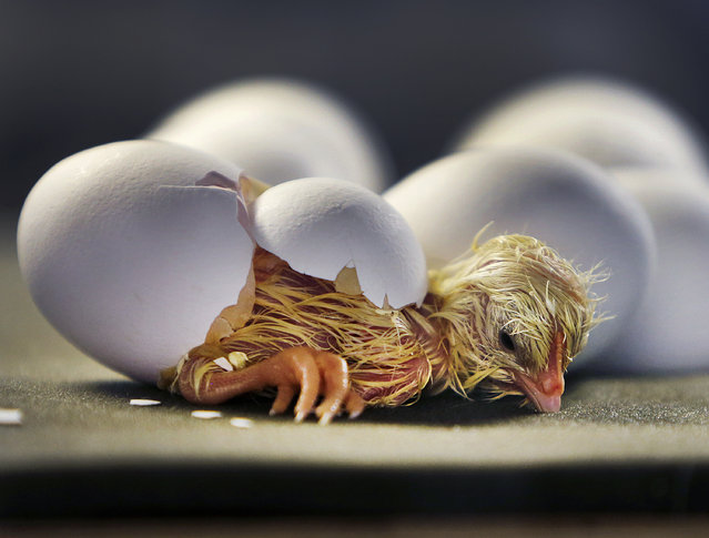 A freshly hatched chick rest after strong efforts to break through the egg in the zoo in Frankfurt, Germany, January 23, 2018. (Photo by Michael Probst/AP Photo)