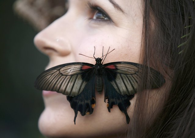 """A Great Yellow Mormon rests on the face of model Jessie May Smart as she poses for pictures ahead of the opening of, """"Butterflies in the Glasshouse"""", at RHS Wisley in Wisley, Britain, January 13, 2017. (Photo by Peter Nicholls/Reuters)"""