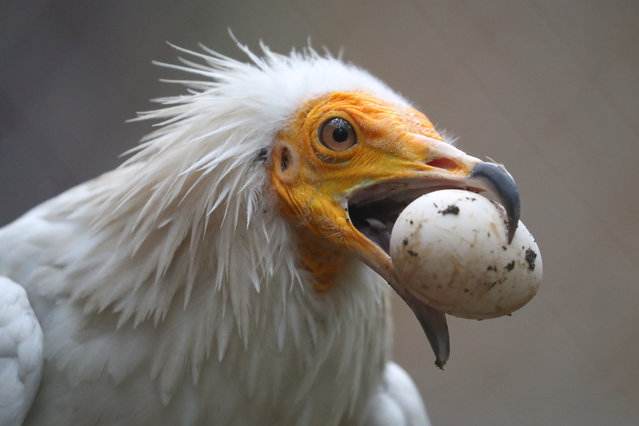 A vulture feeds at the Holzan rehabilitation and monitoring centre for birds of prey in the village of Kashino, some 45km southeast of Yekaterinburg in Sverdlovsk Region, Russia on August 6, 2021. Founded in 2003 and occupying 2.5ha of forest area, the centre keeps about 200 birds on a permanent basis, mostly those incapable of surviving on their own and requiring care. (Photo by Donat Sorokin/TASS)