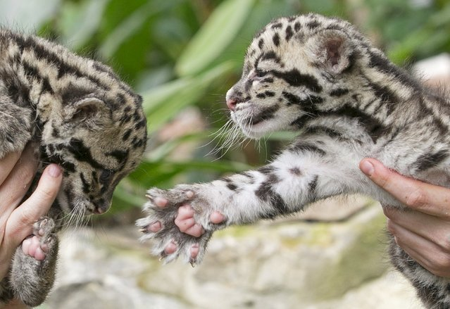 Baby clouded leopards, born early in March 2015 are presented by zoo keepers at the Olmense Zoo in Olmen, Belgium, April 16, 2015. (Photo by Yves Herman/Reuters)