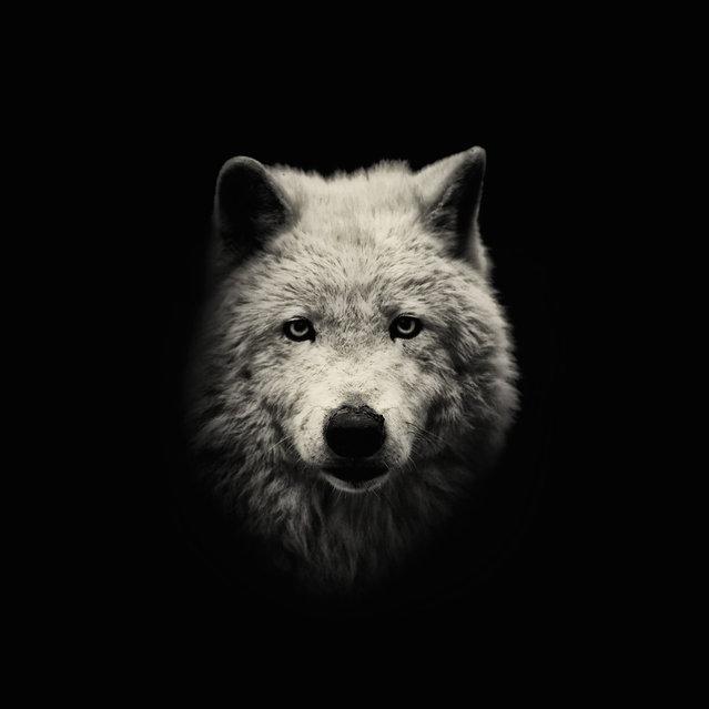 Arctic Wolf. (Photo by Alex Teuscher/BNPS)