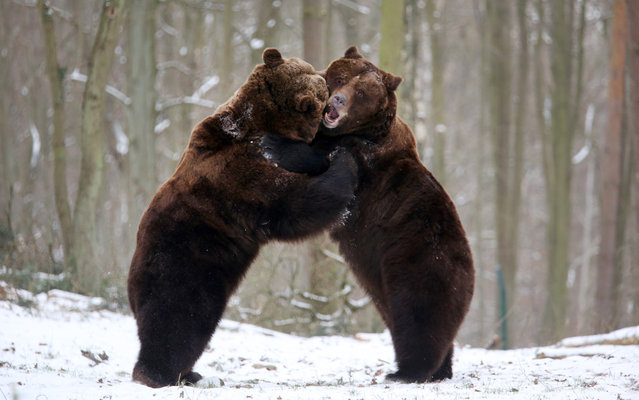"Swedish brown bears ""Fred"" and ""Frode"" play in the snow on January 30, 2014 at the Natur- und Umweltpark (NUP) animal park in Guestrow, northeastern Germany. Despite of icy temperatures, the bear brothers took a break from their winter rest. (Photo by Bernd Wuestneck/AFP Photo/DPA)"