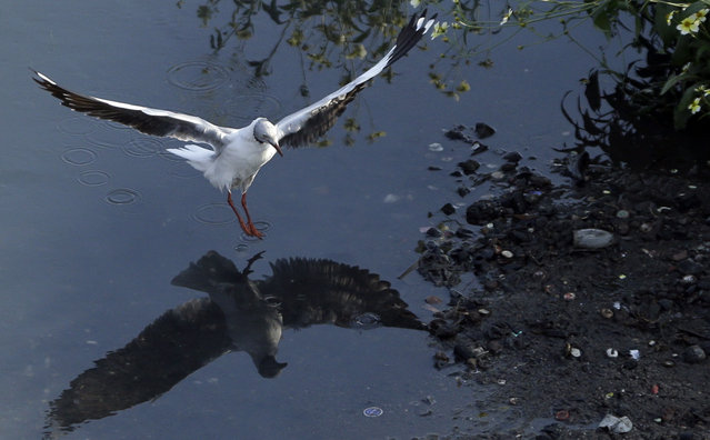 A Grey-headed Gull lands on a polluted Jukskei River at Alexandra township in Johannesburg, South Africa, Thursday, May 7, 2015. (Photo by Themba Hadebe/AP Photo)