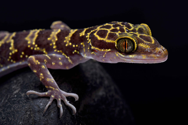 Doi Suthep Bent-toed gecko, (Cyrtodactylus doisuthep). (Photo by Matthijs Kuijpers/The Guardian)