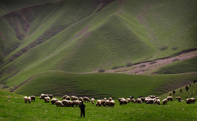 An Iraqi shepherd herds his sheep in the Kurdish town of Aqrah, 500 kilometres north of Baghdad, on March 21, 2016. (Photo by Safin Hamed/AFP Photo)