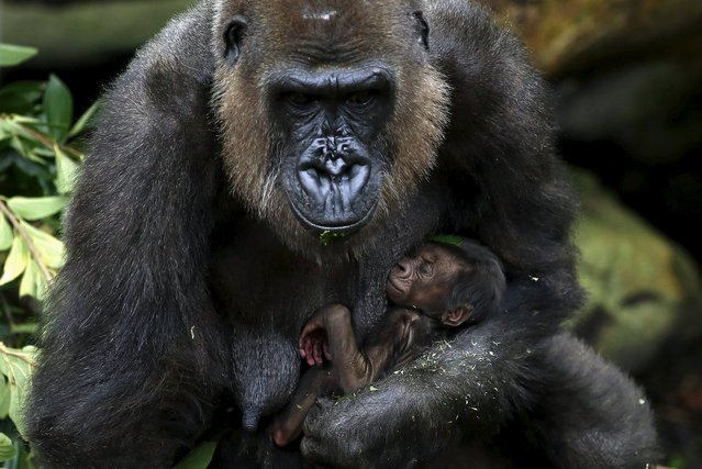 """A newly born Western Lowland Gorilla baby is held by its mother """"Frala"""" in their enclosure at Taronga Zoo in Sydney, Australia, May 19, 2015. The baby gorilla was born six days ago, and is the second sired by the zoo's new Silverback, Kibali, who arrived from France in 2012. (Photo by David Gray/Reuters)"""