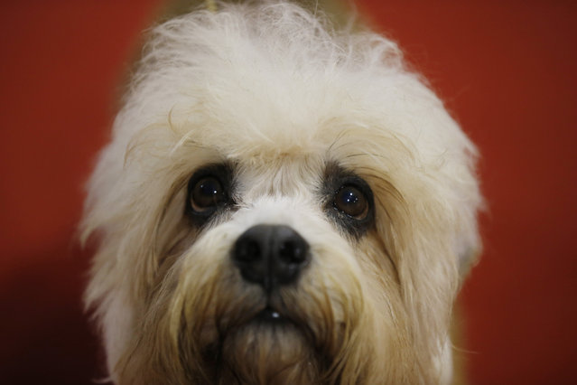 A Dandy Dinnmont Terrier is displayed at the World Dog Show in Rho, near Milan, Italy, Saturday, June 13, 2015.  (AP Photo/Luca Bruno)