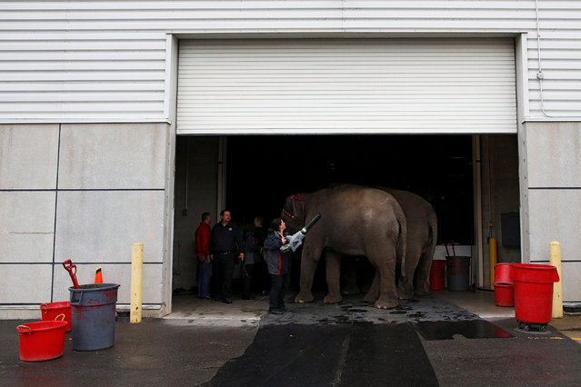 """A handler grooms the elephants before their performance at Ringling Bros and Barnum & Bailey Circus' """"Circus Extreme"""" show at the Mohegan Sun Arena at Casey Plaza in Wilkes-Barre, Pennsylvania, U.S., April 29, 2016. (Photo by Andrew Kelly/Reuters)"""