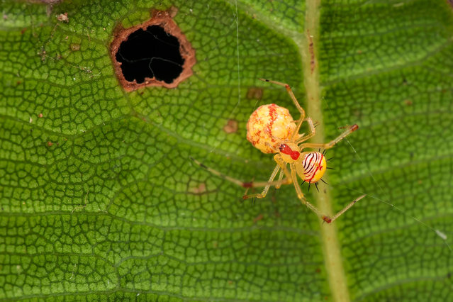 A spider on a leaf in west Borneo, Indonesia. (Photo by Room Agency/Alamy Stock Photo)