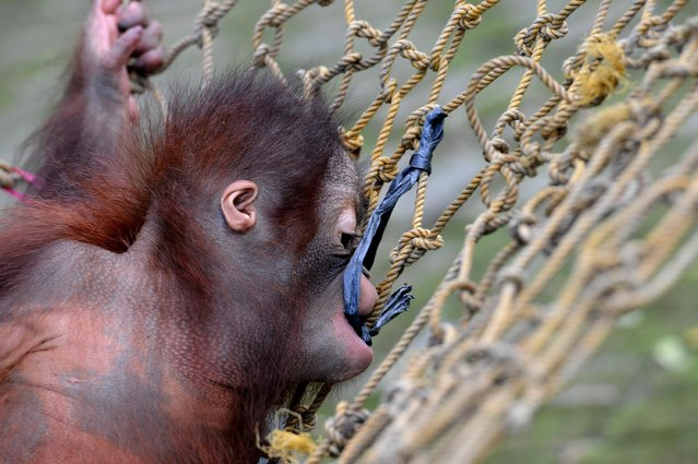 Rizki, 10 months orphaned Bornean orang utan learns to bite at Surabaya Zoo as he prepares to be released into the wild on May 19, 2014 in Surabaya, Indonesia. Damai (3) and Rizki (10 months), two orangutan brothers who were abandoned by their mother Dora (13) shortly after birth. (Photo by Robertus Pudyanto/Getty Images)