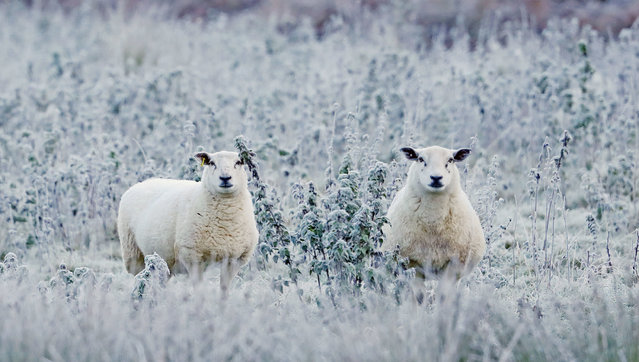 Two sheep in a frost-covered field near Baltinglass in Co Wicklow, Ireland on October 28, 2019, after a chilly night caused temperatures to drop below freezing. (Photo by Niall Carson/PA Images via Getty Images)
