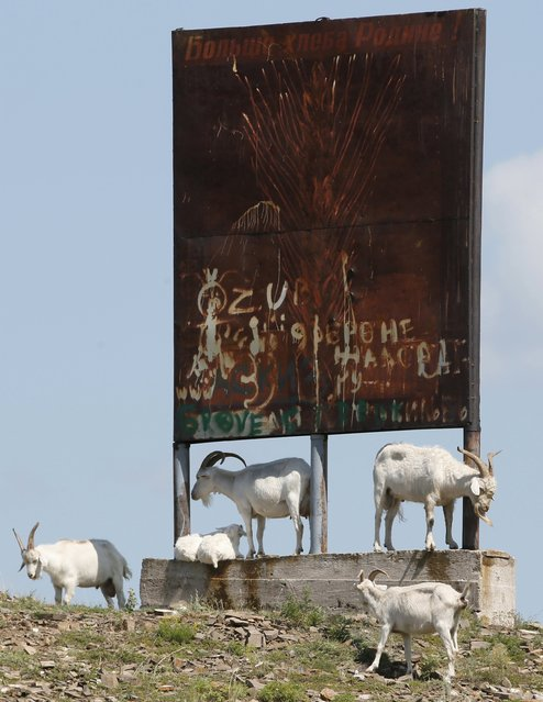 "Goats surround a rusty board with a Soviet-made sign which reads (top) ""More bread to the fatherland!"" near the village of Askiz southwest of the city of Abakan, Khakassia region, Russia, July 24, 2015. (Photo by Ilya Naymushin/Reuters)"