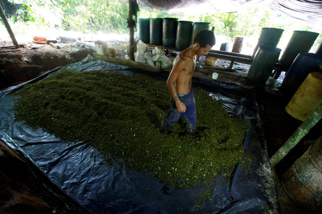 A worker walks over crushed coca leaves, mixed with chemicals, as part of the process to make coca paste, on a small farm in Guayabero, Guaviare province, Colombia, May 23, 2016. (Photo by John Vizcaino/Reuters)