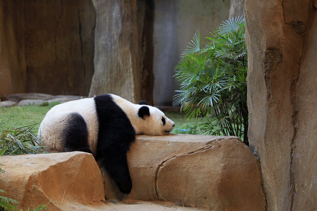 Liang Liang, formerly known as Feng Yi, one of two giant pandas from China, sleeps at the Giant Panda Conservation Center at the National Zoo in Kuala Lumpur, Malaysia, Saturday, June 28, 2014. Two pandas arrived in Malaysia on May 21 to mark the 40th anniversary of the establishment of diplomatic ties between Malaysia and China. The pair will live in the country for the next 10 years. (Photo by Lai Seng Sin/AP Photo)