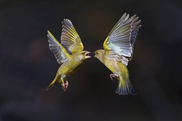 """These greenfinches go head to head in what appears to be a heroic fight or a playfull moment together, inspiration for a new version of """"Angry Birds"""", in Trezzo Sull'Adda, Italy in March 2013. (Photo by Marco Redaelli/IMP/AbacaPress.com)"""