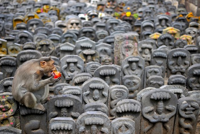 A bonnet macaque sits on consecrated idols of snakes as it eats a pomegranate fruit left behind as an offering by devotees during the Nag Panchami festival inside a temple on the outskirts of Bengaluru, India, August 19, 2015. Hindus celebrate the festival by worshipping snakes to honour the serpent god. (Photo by Abhishek N. Chinnappa/Reuters)