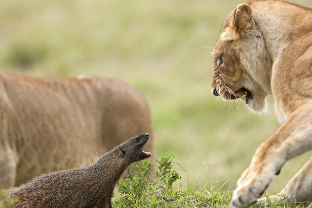 A mongoose shouts at a startled lion on September 10, 2011 in Maasai Mara, Kenya. Four lions were left with their tails between their legs when a mongoose bravely took on the predators. (Photo by Jerome Guillaumot/Barcroft Media)