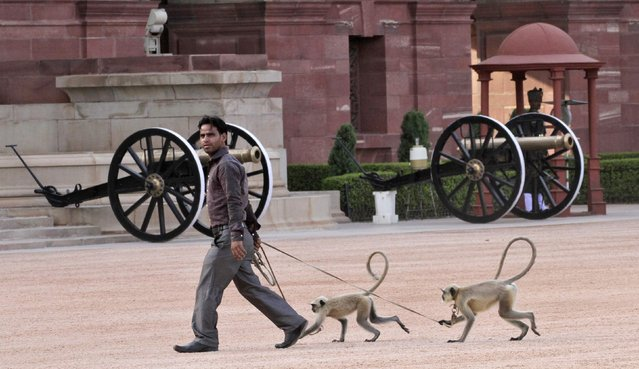Langur monkeys follow their handler at the forecourt of India's presidential palace Rashtrapati Bhavan in New Delhi September 21, 2012. Langur monkeys are used in parts of New Delhi to scare away other monkeys which create a menace around government buildings. (Photo by B. Mathur/Reuters)