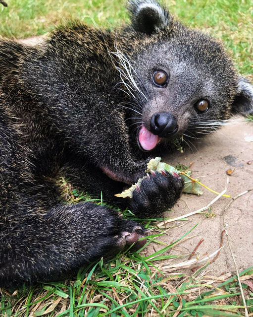 Runner-up, In the Moment – People's Choice category: Mischievous kit, by Leanne Aldred at Wingham Wildlife Park. Species: Binturong. (Photo by Leanne Aldred/BIAZA 2020 Photography Competition)