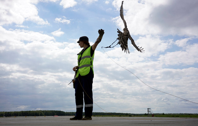 Employee of ornithological flight support service Nika Ryzhova-Alenicheva releases her hawk, which is used to control fauna to avoid bird strikes during takeoffs and landings, at Domodedovo airport outside Moscow, Russia September 2, 2016. (Photo by Maxim Zmeyev/Reuters)