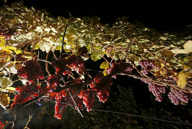Bunches of grapes hang from the vine in a vineyard in Alsace as autumn colours mark a change in season in Orschwir, Eastern France, October 11, 2015. (Photo by Jacky Naegelen/Reuters)