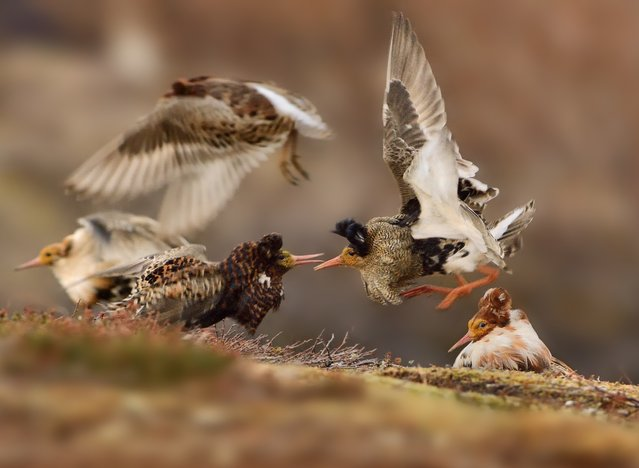 On their traditional lek ground – an area of tundra on Norway's Varanger Peninsula – territorial male ruffs in full breeding plumage show off their ruffs to each other, proclaiming ownership of their courtship areas. (Photo by Ondrej Pelanek/2015 Wildlife Photographer of the Year)
