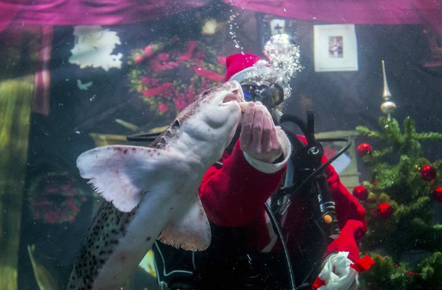 A diver dressed as Santa Claus feeds fishes inside a fish tank at the Sea Life aquarium in Berlin December 2, 2014. (Photo by Hannibal Hanschke/Reuters)