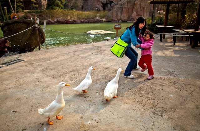 A woman and her daughter are frightened while ducks approach closely for food at an amusement park in Beijing, China, Wednesday, April 3, 2013. Scientists taking a first look at the genetics of the bird flu strain that recently killed two men in China said Wednesday the virus could be harder to track than its better-known cousin H5N1 because it might be able to spread silently among poultry without notice. The bird virus also seems to have adapted to be able to be able to sicken mammals like pigs. (Photo by Alexander F. Yuan/AP Photo)