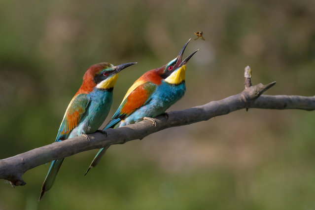 Pair of Merops apiaster feeding. European Bee-eater, Ariège, France. The female (in front) awaits the offering which the male will make. (Photo by Pierre Dalous)