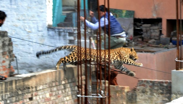 A leopard leaps across an under-construction structure near a furniture market in the Degumpur residential area as a bystander moves out of the way in Meerut on February 23, 2014. A leopard sparked panic in a north Indian city when it strayed inside a hospital, a cinema and an apartment block before evading captors, an official said. (Photo by AFP Photo)