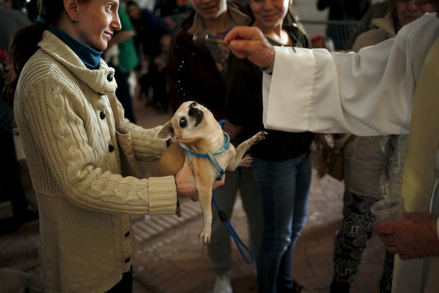 A woman holds her dog as it is blessed by a priest in Benalmadena, near Malaga, Spain, January 17, 2016. Hundreds of pet owners bring their animals to be blessed every year on the day of San Anton, Spain's patron saint of animals. (Photo by Jon Nazca/Reuters)