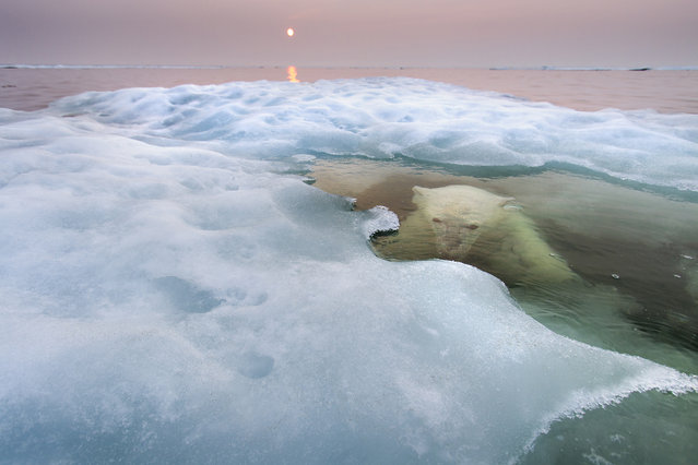 """USA: """"The water bear"""". Paul took his Zodiac boat to Hudson Bay, Canada, in midsummer. He scouted for three days before he spotted a bear, this young female, on sea ice some 30 miles offshore. """"I approached her very, very slowly"""", he says, """"and then drifted. It was a cat-and-mouse game"""". When the bear slipped into the water, he just waited. """"There was just a flat, world of water and ice and this polar bear swimming lazily around me. I could hear her slow, regular breathing as she watched me below the surface or the exhalation as she surfaced, increasingly curious. It was very special"""". The light was also special, but for a sinister reason. The midnight sun was filtered through smoke from forest fires raging farther south, a symptom of the warming Arctic – the greatest threat facing the polar bear. As more and more sea ice melts earlier and earlier every spring, it becomes harder for the bears to hunt the seals they depend on. (Photo by Paul Souders/Wildlife Photographer of the Year)"""