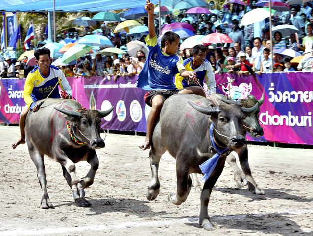 A young Thai buffalo rider, center, raises his arm after winning the preliminary round race during an annual buffalo race in Chonburi province, southeastern Thailand, Friday, October 18, 2013. The annual race is a celebration among rice farmers before harvesting rice. (Photo by Apichart Weerawong/AP Photo)